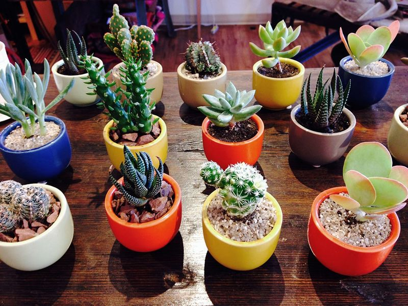 Mini succulents Kestrel in Northampton, MA