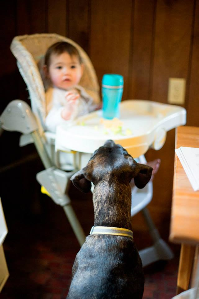 Samson watching Lily eat (and hoping for scraps) #dogsandbabies