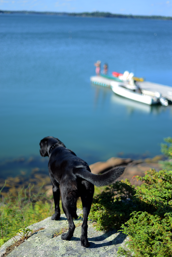 Black lab in Maine