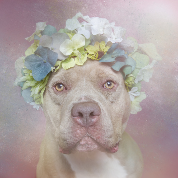"Sophie Gamand's ""Flower Power"" series shows pit bulls with ""a fresh perspective and an open heart."""