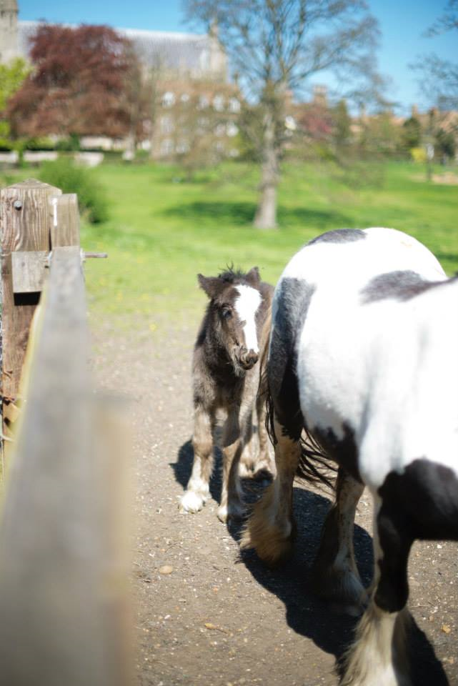 A foal in Ely, England