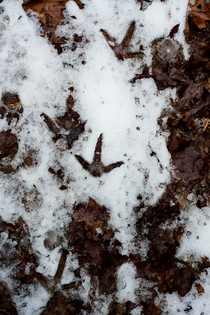 Bird tracks in the Berkshires