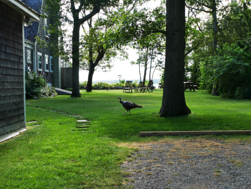 Wild turkey on Martha's Vineyard