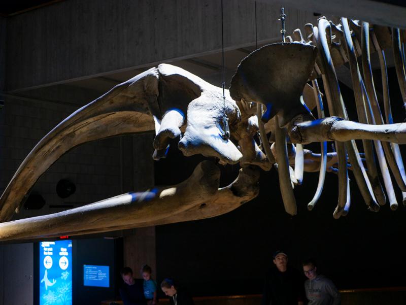 Whale skeleton at the New England Aquarium