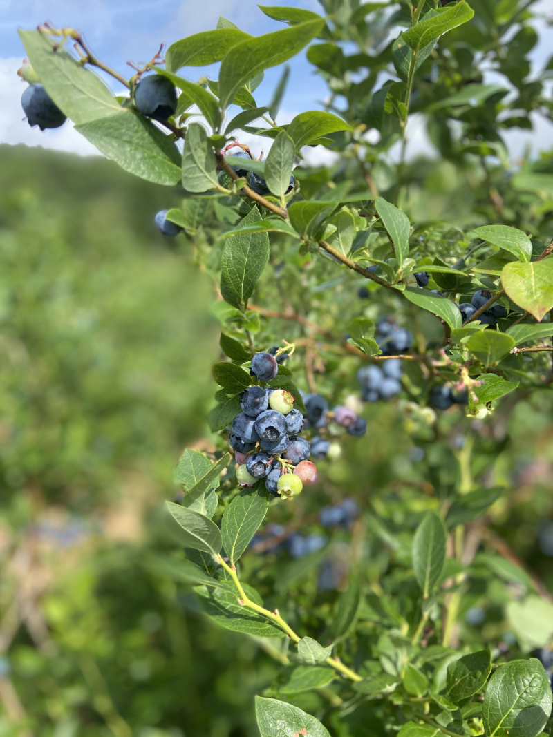 Ripe blueberries grow on branches